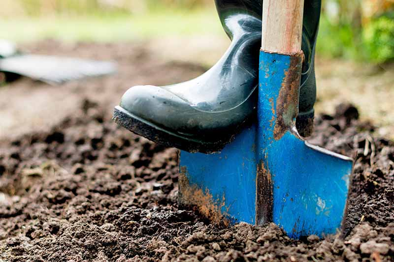A black rubber boot-covered food presses a blue metal shovel with a wood handle into brown garden soil.
