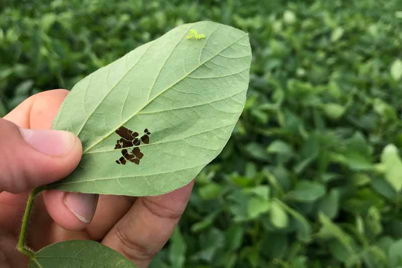 Close up of a human hand holding a soybean leaf that has been damaged by insect activity.