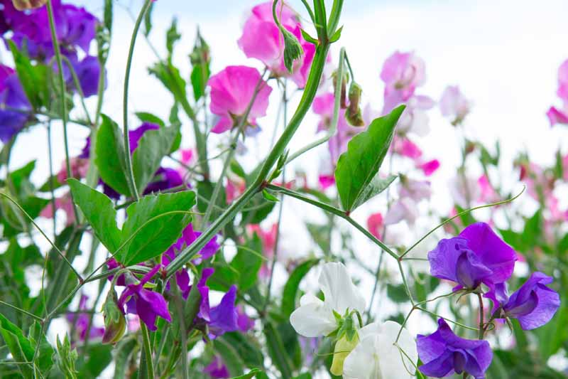Close up side profile photo of multicolored sweet pea flowers in the garden.