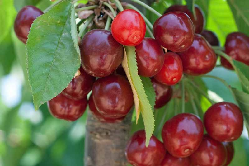 Close up of ripe, dark red sweet cherries hanging from a branch.