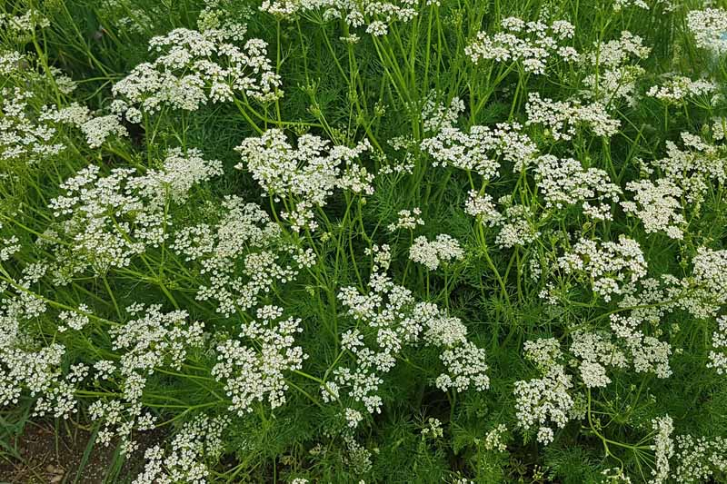 A field with caraway plants in bloom.