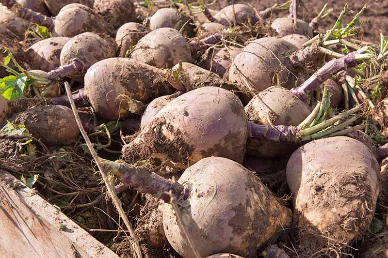 Horizontal image of dusty, slightly dirt-covered, just-picked pale purple rutabagas.