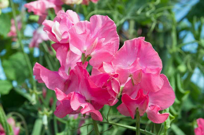 Pink sweet pea blossoms. Close up.