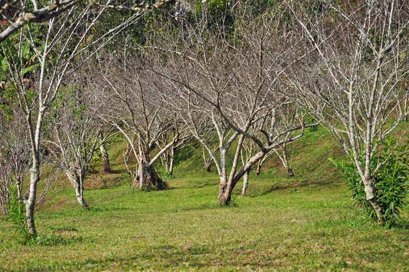 Dead fruit trees killed from cotton root rot (Phymatotrichum omnivorum) in an orchard setting.