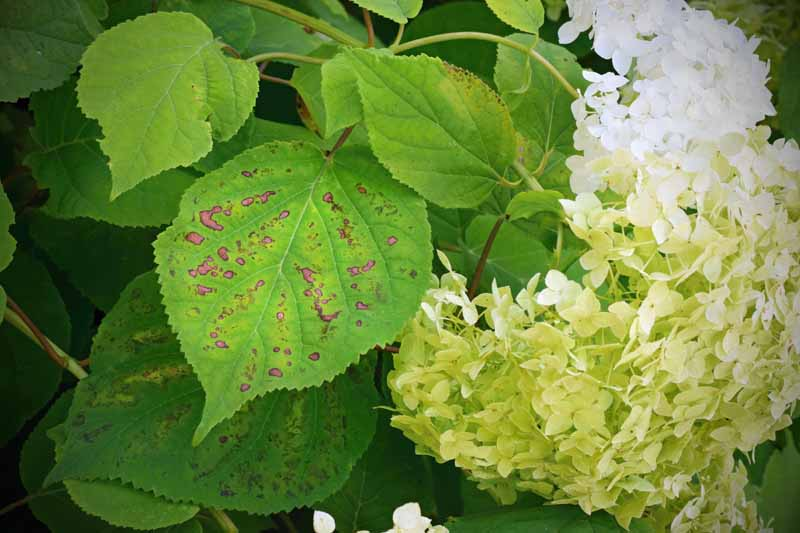 Close up of splotchy leaves of a hydrangea bush with a fungal disease.