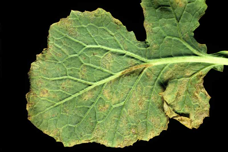 Downy mildew (Peronospora parasitica) infection on a turnip leaf underside. Black background.