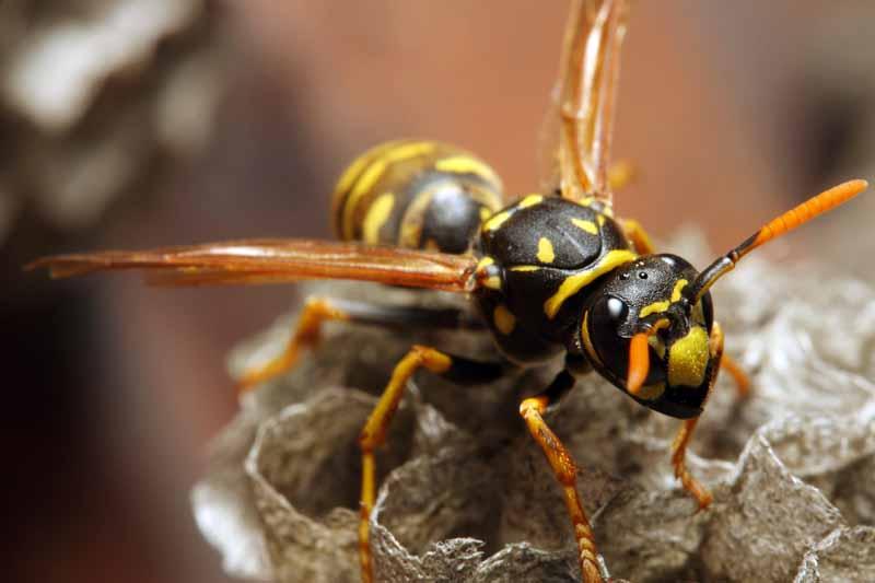 Macro shot of a yellowjacket wasp looking at the camera.