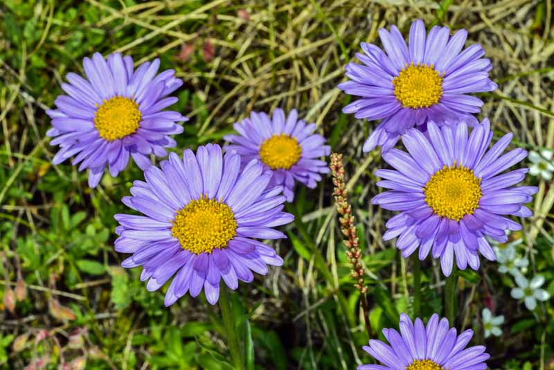 Close up of natural Alpine aster in bloom.