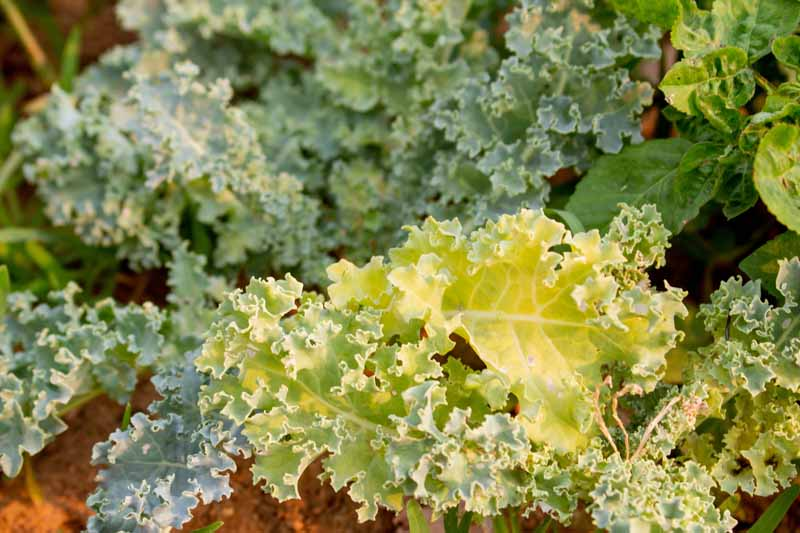 Close up of kale leaves turning yellow while growing in a veggie garden.