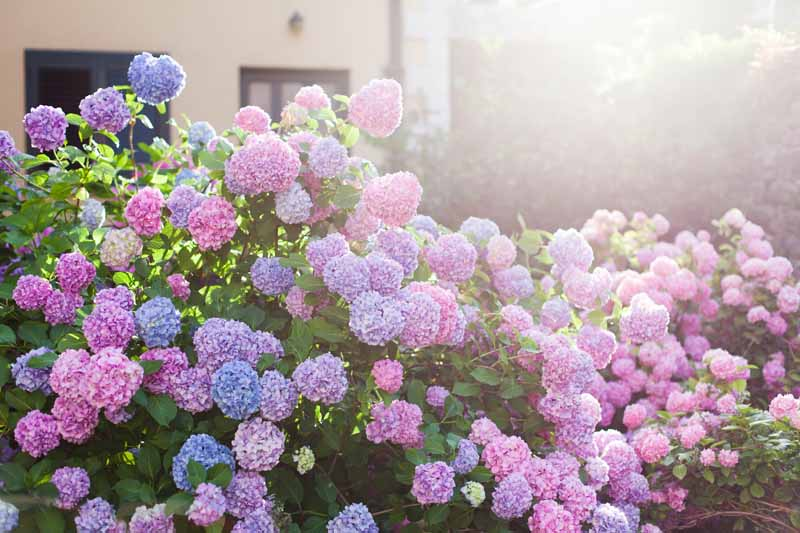 Pink, purple, and blue hydrangeas in bloom in the morning sun.