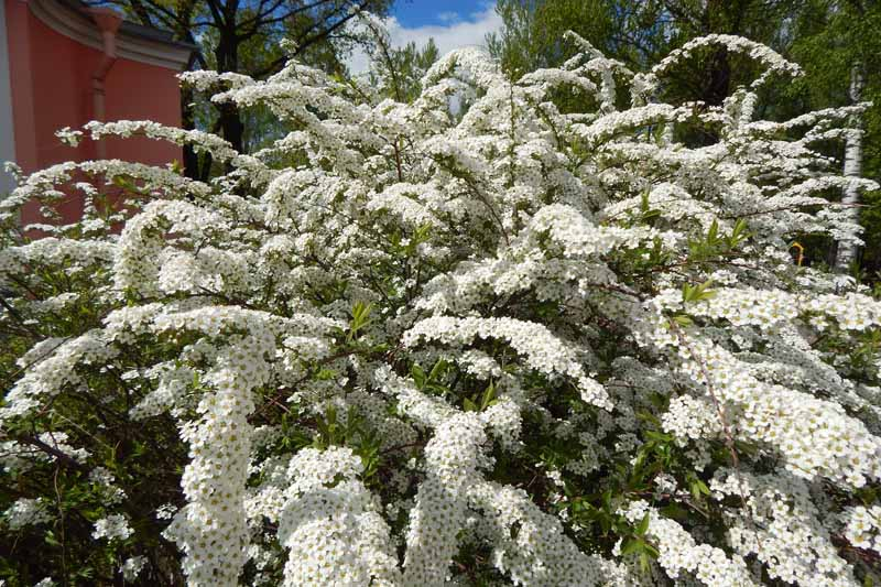 A big, white-flowered spirea bush growing in a backyard setting.