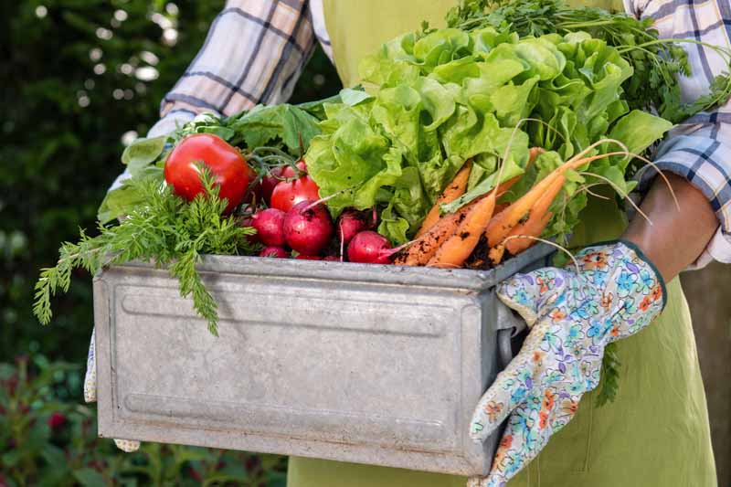 A woman holds a box of fresh veggies she harvested from her garden. Torso shot of arms hold box of vegetables.