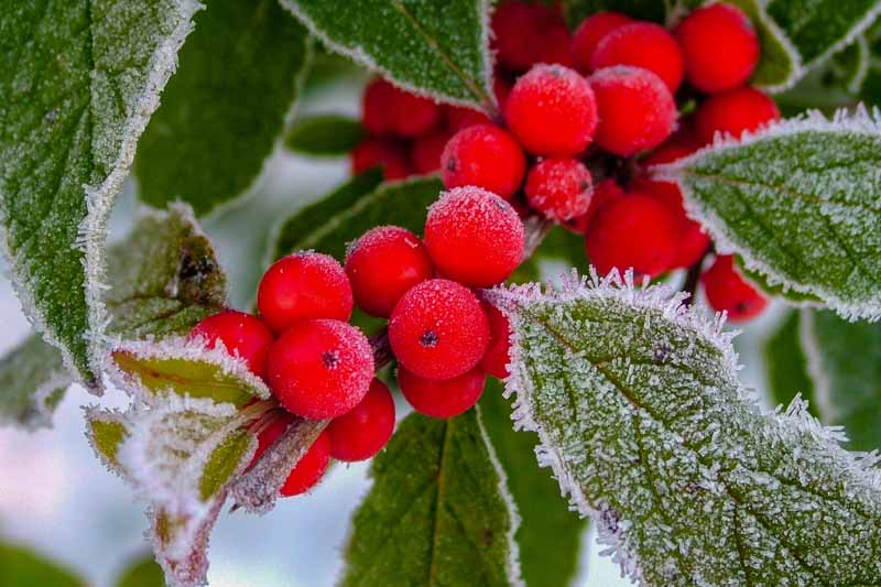 Close up of red berries from the winterberry holly covered in frost.