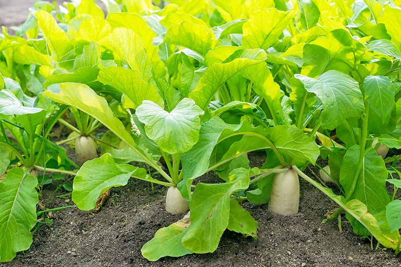 Close up of daikon radishes, the tuber visible above the soil, and bright green tops in gentle sunshine.