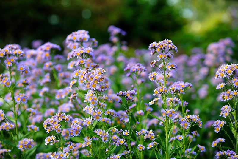 A mass planting of tatarian aster in bloom with violet colored flowers.