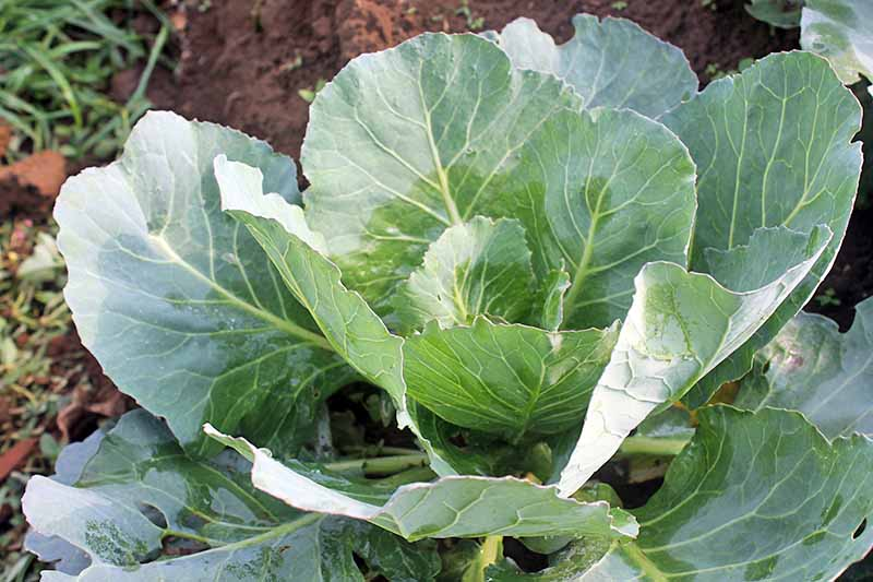 Close up of a collard greens plant, the large outer leaves showing some signs of pest damage, with holes in the leaf. The smaller, central leaves are a brighter green, contrasting with their light green veins and stalks. In the background is soft focus garden soil.