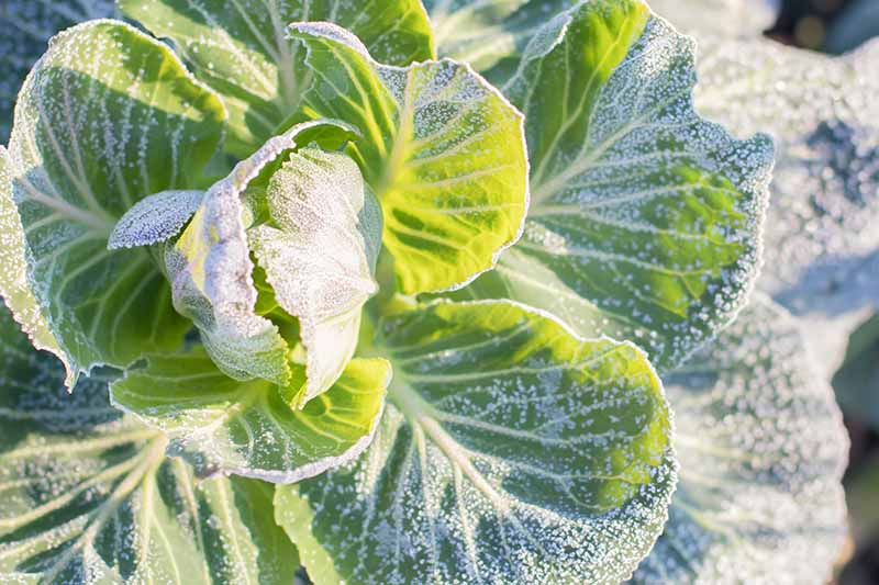 A close up of cabbage leaves with a light frost on the leaves, in bright sunshine.