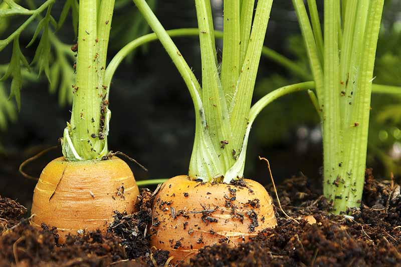 A close up of carrots in the ground, almost ready for harvest with their orange root tops showing. Green foliage attached and rich dark soil around them.