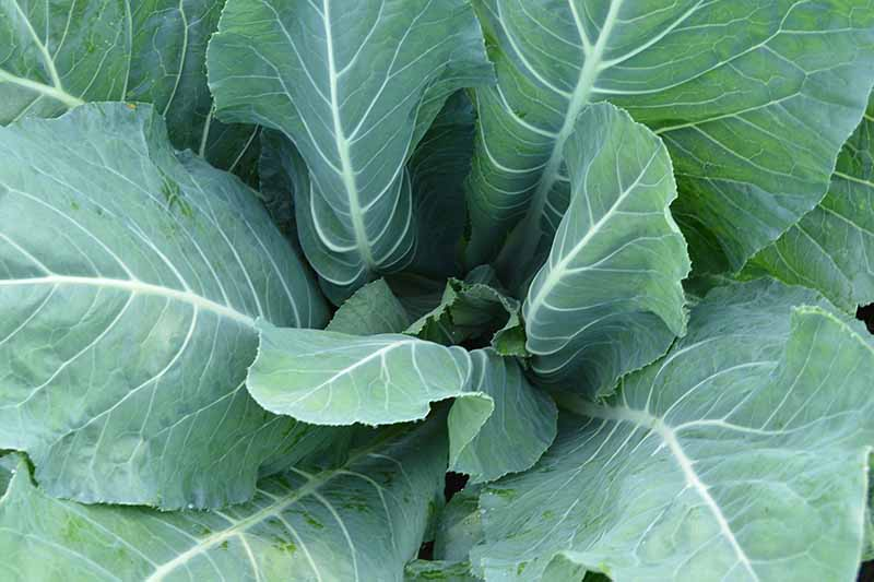 A close up, top down picture of green cauliflower foliage, the white veins and stems clearly visible against the light green of the leaves.