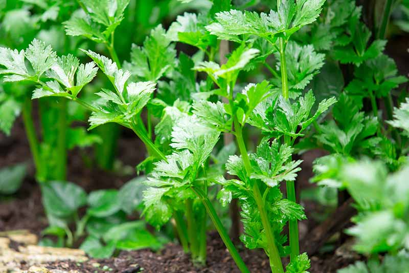 A close up of celery plants growing in the garden in bright sunlight. The bright green leaves contrast with the brown soil seen below and in between them.