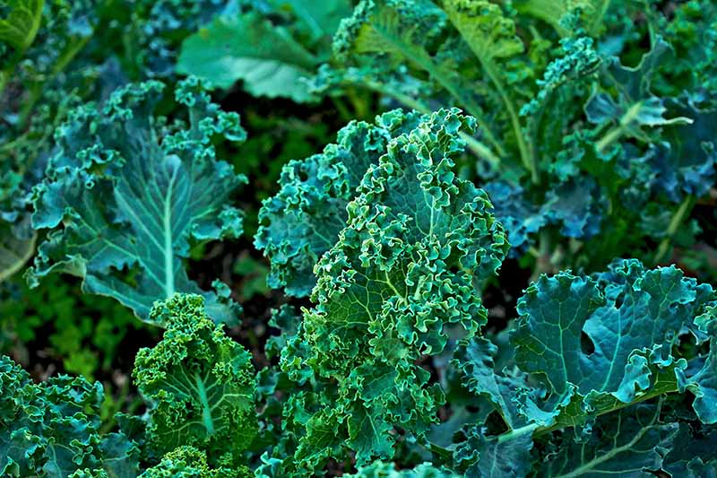 A close up of dark green healthy curly kale plants growing in the garden bathed in light sunshine.