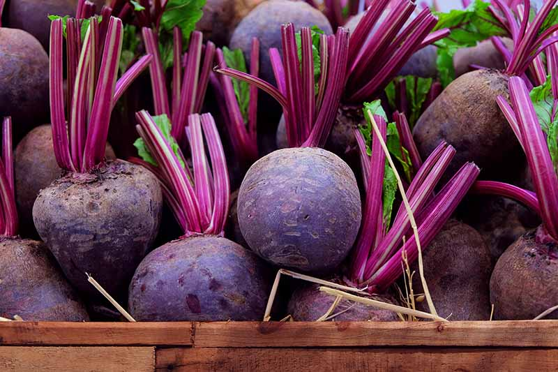 A wooden box containing harvested beets, the soil cleaned off them and the stems cut about two inches above the root. The roots are a deep purple, contrasting with a little of the green foliage still attached and the bright purple stems.