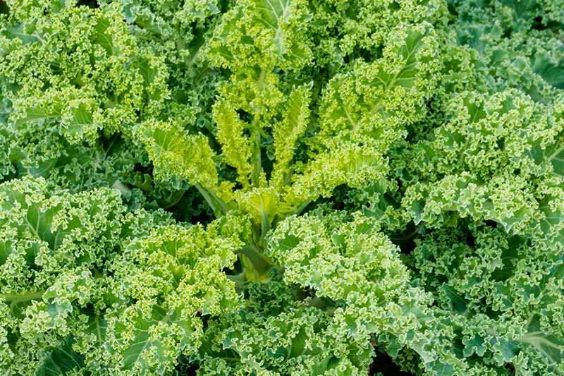 A close up of a healthy Brassica Oleracea plant growing, the small tender leaves in the center and larger, curly leaves around the edges, in bright light.