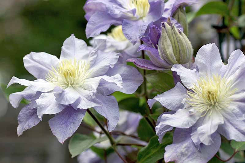 A close up of light purple clematis flowers, with one bud closed. The background is soft focus green leaves and vegetation.