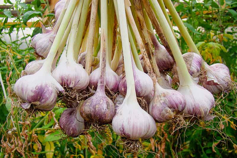 A close up picture of a bunch of purple and white garlic, hanging from the light green scapes, with some roots still attached against a background of garden plants in soft focus.