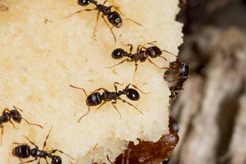 A close up of dark brown pavement ants feeding on a large white piece of bait. The dark background fades to soft focus.
