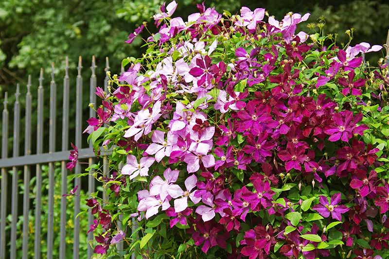 A close up of a clematis vine with light and dark purple flowers with green leaves behind them, against a green metal fence. In the background are trees and vegetation in soft focus.