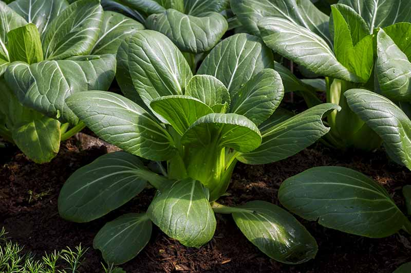 A close up of bok choy plants in the garden, their dark green leaves contrasting with the lighter veins and stems, in bright sunshine. The background is rich soil surrounding the plants.