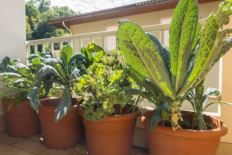 A close up of four terra cotta pots with Tuscan and curly kale growing in the bright sunshine on a balcony. The plants have large leaves in various shades of green, the background is white railings and a house behind.