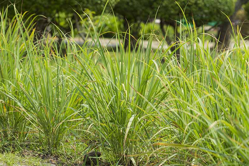 A row of lemongrass plants growing in the garden with long, thin, upright, green leaves. In the background are trees and vegetation in soft focus.