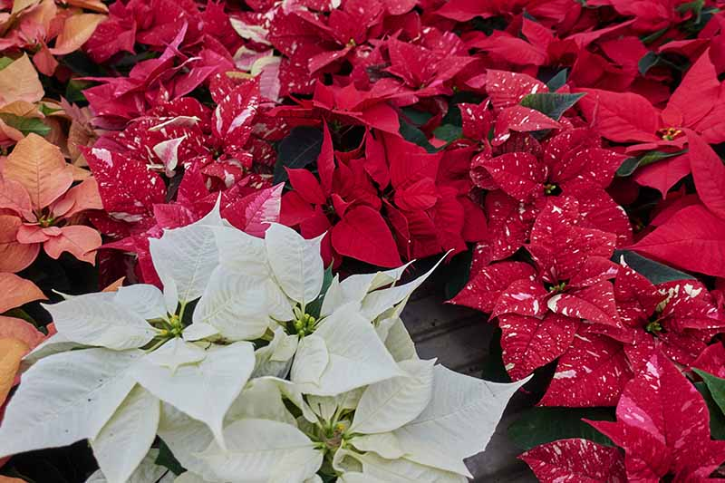 A close up of different types of poinsetta plants. Some have white leaves, others red, some are orange, and some are two tone red and white, in pots on a wooden surface.