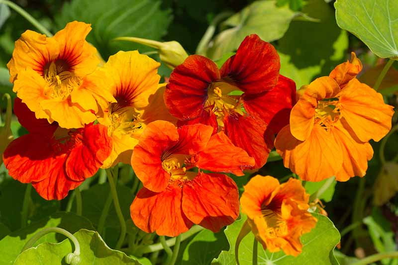 A close up of vivid red and orange nasturtium flowers in bright sunshine on a soft focus background.
