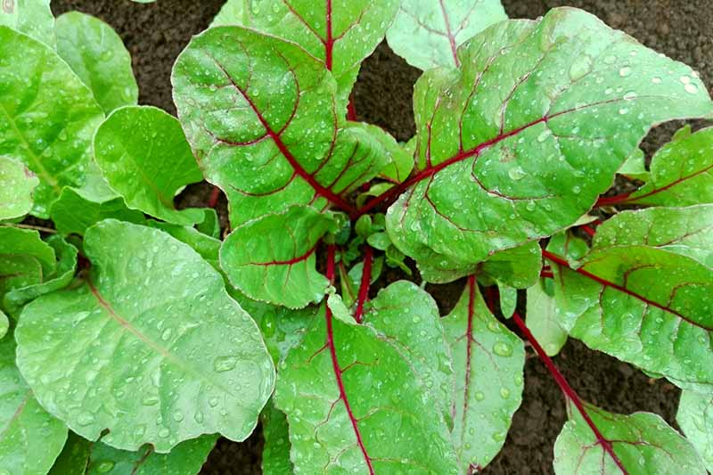 A close up top down picture of beet greens growing in the garden with bright green leaves and dark red stems and veins.