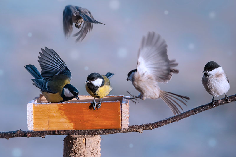 A close up of five birds and a tree branch with a wooden feeder on a soft focus winter background.