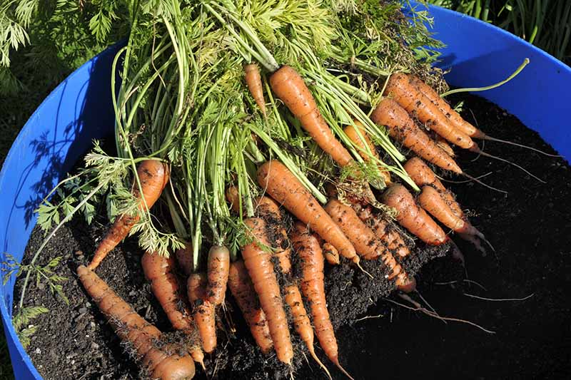 A close up of freshly harvested carrots with dark soil on the roots and the green tops still attached, set on dark earth in a blue container in bright sunshine.