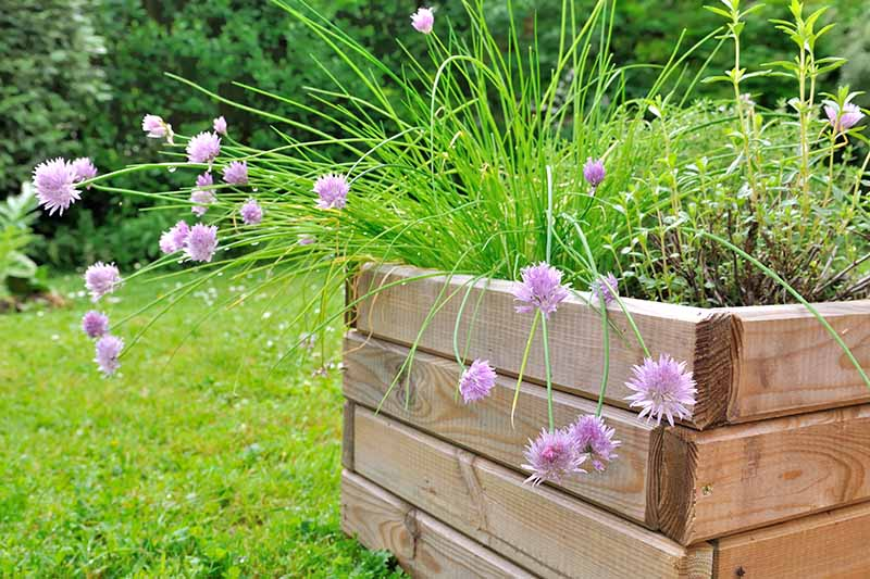 A wooden container with a large flowering Allium schoenoprasum plant with other herbs. In the background is a lawn and a hedge in soft focus.