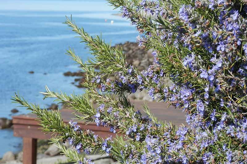 A close up of a rosemary bush in full bloom with small blue flowers contrasting with the green leaves. In the background is a rocky cliff and the blue sea, in bright sunshine.