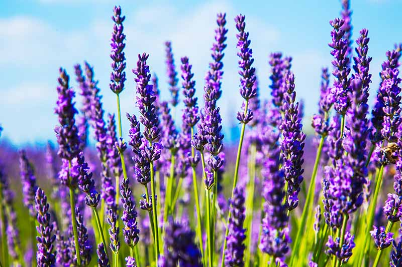 A close up of purple flowering Lavandula plants growing in a field in the sunshine with a bright blue sky in the background.