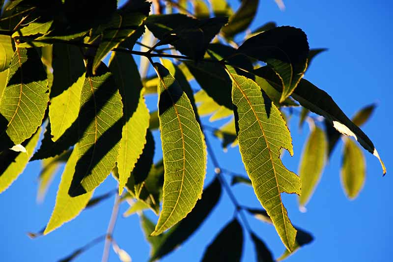 A close up of a healthy pecan tree branch with green leaves, some in shadow, in bright sunshine on a blue sky background.