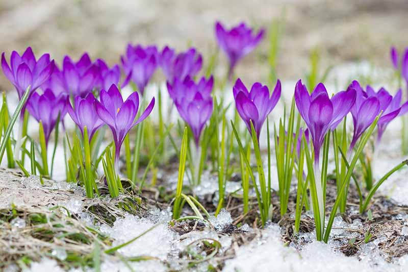 A close up of purple crocus flowers growing in the garden through a light dusting of snow on a soft focus background.