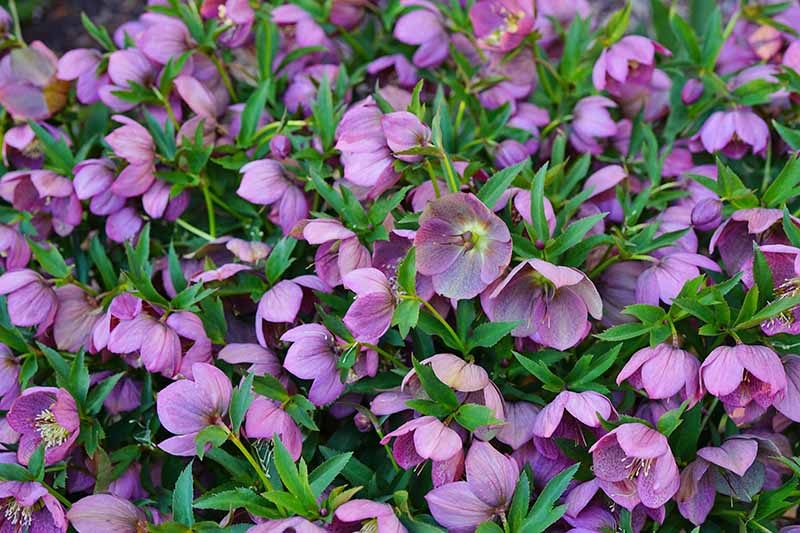 A close up of a bed of purple hellebore flowers surrounded by delicate green foliage.