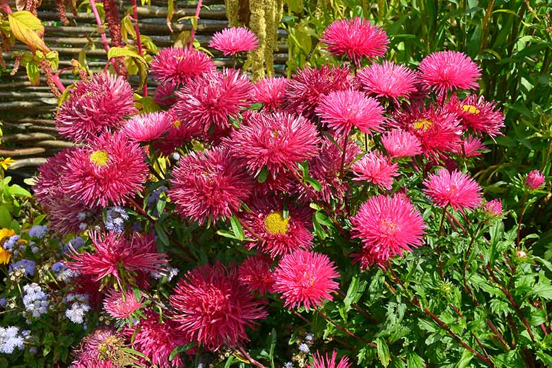 A close up of the bright red blooms of the China aster, some of the flowers have bright yellow centers, and are surrounded by dark green foliage, pictured in bright sunshine against a rustic wooden fence.