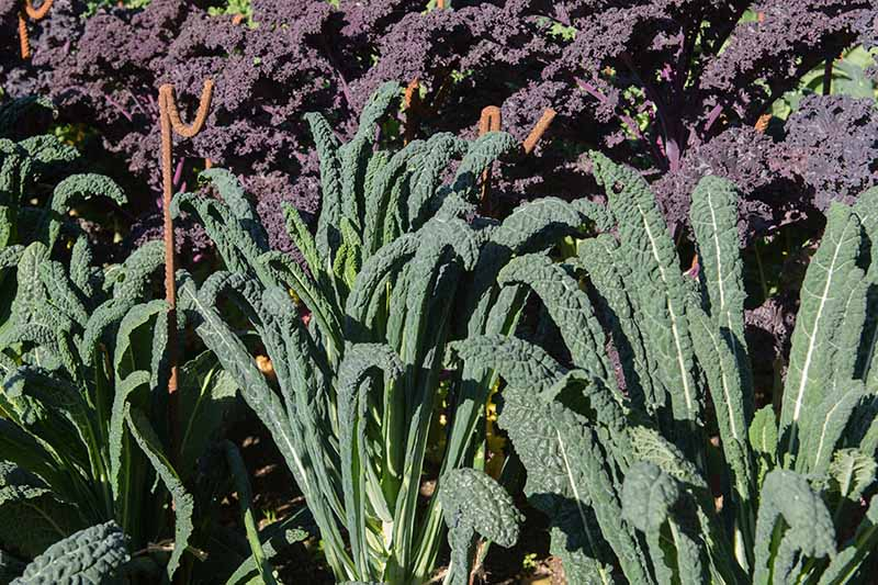 A close up of Tuscan and purple kale plants growing together in the garden in bright sunshine with metal stakes in between them.