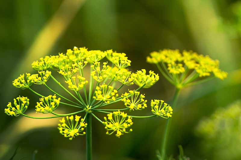 A close up of a yellow flower of the Anethum graveolens plant in filtered sunshine on a soft focus green background.