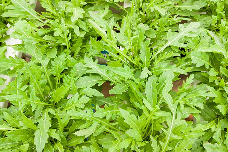 A top down close up picture of arugula plants growing in a containers in bright sunlight.