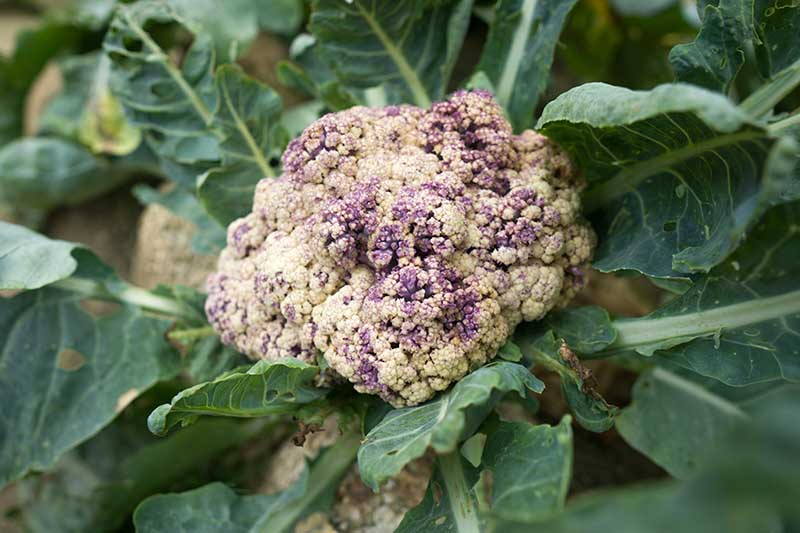 A close up of a cauliflower head that should be developing white curds but instead is tinged with purple discoloration, set amongst the dark green leafy foliage.